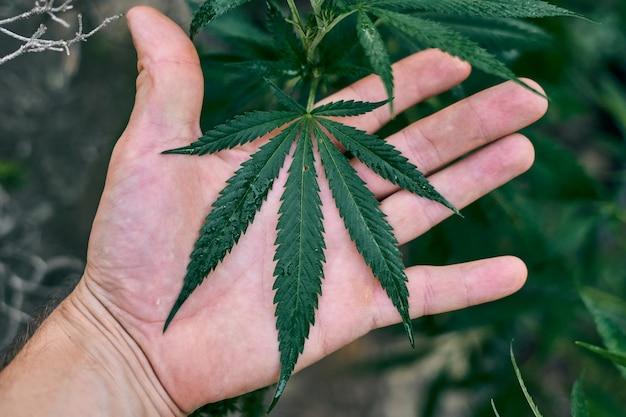 Grande planta de cannabis segurada pela mão de uma pessoa