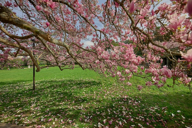 Grande ramo de uma árvore de magnólia, cheio de flores.