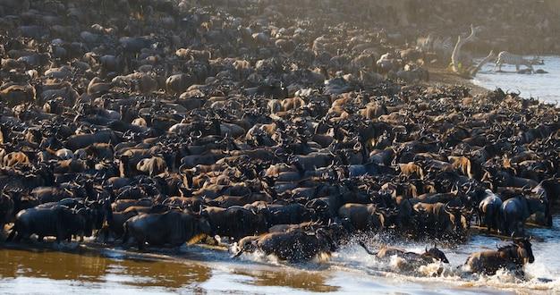 Grande rebanho de gnus em torno do rio mara