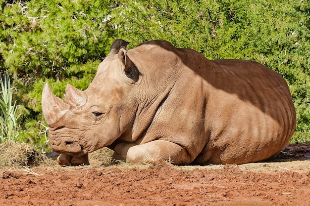 Grande rinoceronte a descansar ao sol