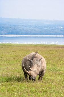 Grande rinoceronte branco em nakuru, quênia