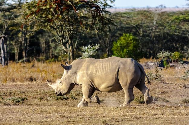 Grande rinoceronte branco. parque do lago nakuru, quênia
