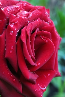 Grande rosa vermelha