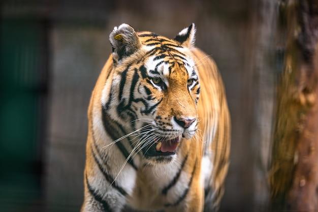 Grande tigre caminhando em um campo