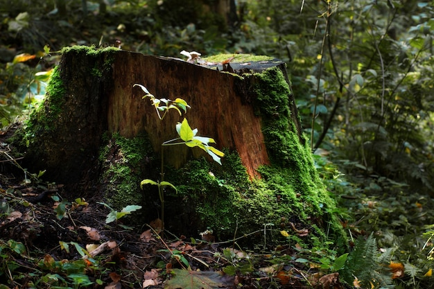 Grande toco de árvore velho coberto de musgo e vegetação.