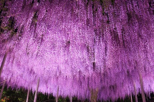 Grande treliça de glicínias roxas à noite, ashikaga flower park