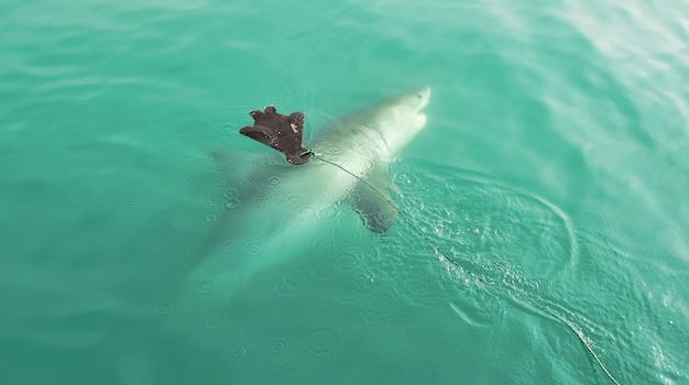 Grande tubarão branco que persegue o chamariz do selo
