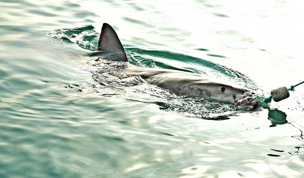 Grande tubarão branco violando a superfície do mar para pegar isca de carne e chamar a isca.