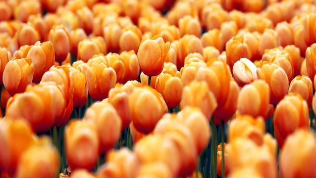 Grande variedade de cultivo de tulipas amarelas. botânica de flores