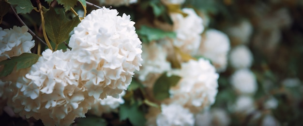 Grandes aglomerados globulares de flores brancas em arbustos altos com folhas verdes. a árvore florida. fundo natural.