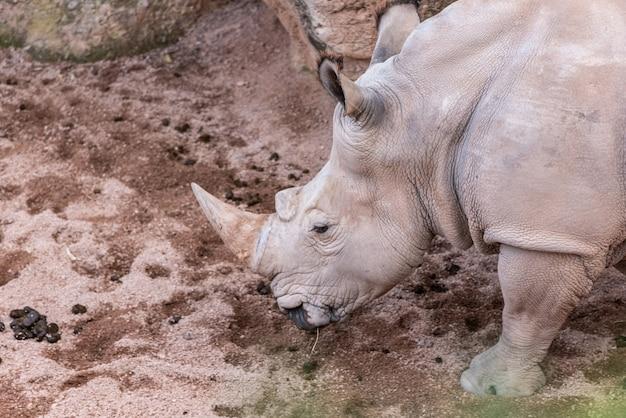 Grandes animais, rinocerontes cheirando o chão em busca de comida com o seu chifre.