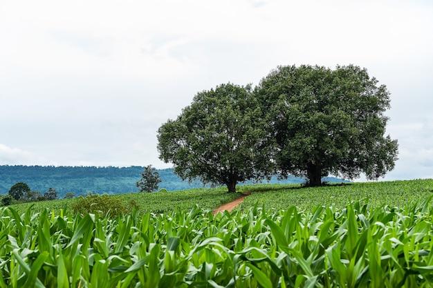 Grandes árvores com campos de milho em primeiro plano