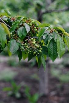 Grandes cachos de cerejas verdes em close-up de uma árvore no jardim