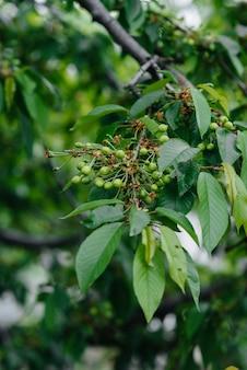 Grandes cachos de close-up de cerejas verdes em uma árvore no jardim. colheita de deliciosas cerejas.