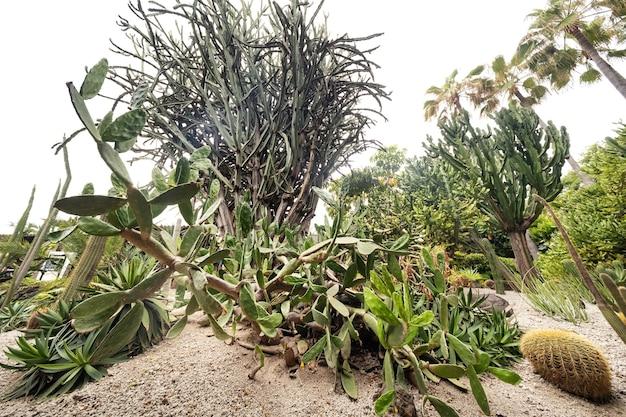 Grandes cactos na ilha de tenerife. ilhas canárias, espanha
