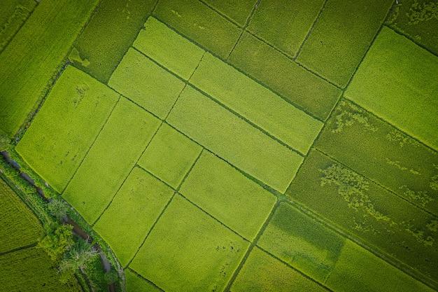 Grandes campos de arroz