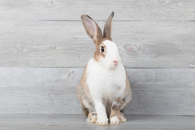 Grandes coelhos brancos e marrons estão sentados com um fundo de grãos de madeira.
