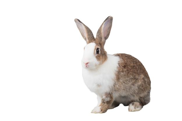 Grandes coelhos brancos e marrons estão sentados com um isolado no fundo branco.