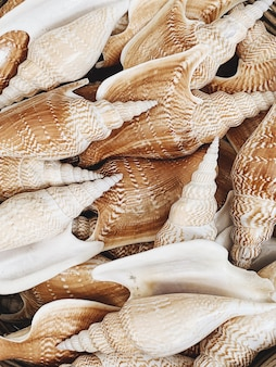 Grandes conchas marrons e bege lindas