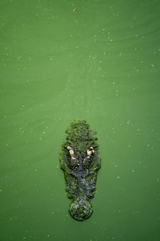 Grandes crocodilos estão na água com muita lentilha verde.