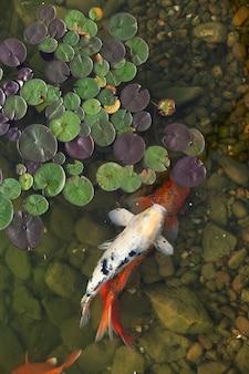 Grandes e lindos peixes nadam em um lago com nenúfares, um belo lugar tranquilo para relaxar