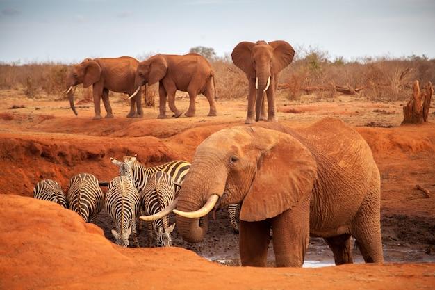 Grandes elefantes vermelhos com algumas zebras em um poço de água, no safari no quênia