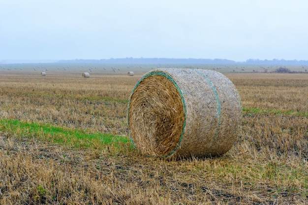 Grandes fardos de feno redondos no campo após a colheita. os fardos de palha no pasto no dia chuvoso.