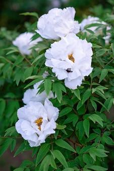 Grandes flores brancas de peônias de árvores na primavera