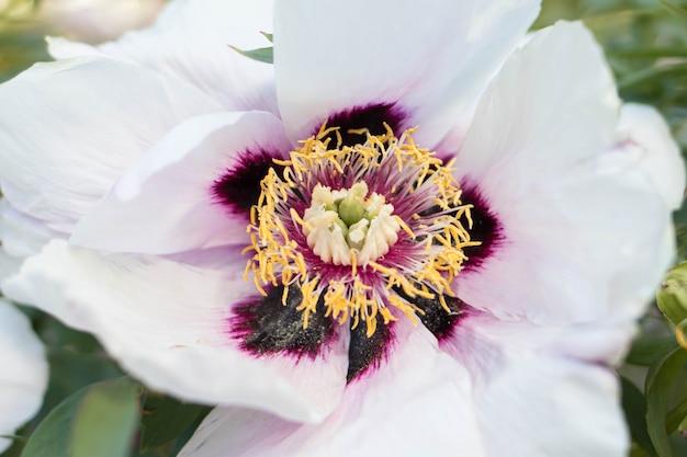 Grandes flores brancas perfumadas