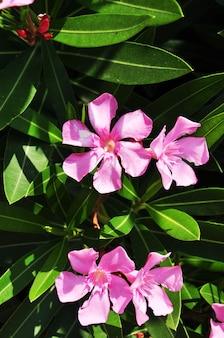 Grandes flores cor de rosa. flores cor de rosa em um fundo de folhas verdes de arbustos.