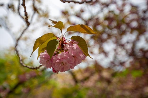 Grandes flores de cerejeira estão em plena floração