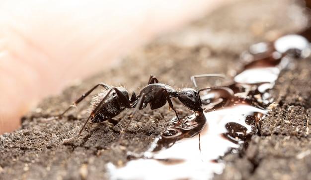 Grandes formigas da floresta em madeira velha