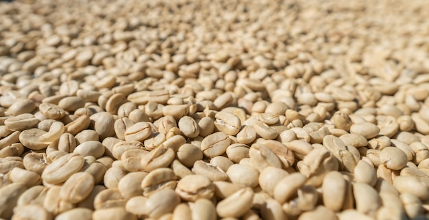 Grandes grãos de café brancos secam ao sol no processo de secagem de arábica descascada de fazenda