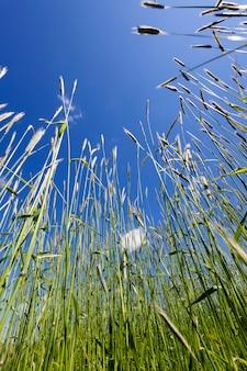 Grandes hastes de cereais contra o céu azul no verão, close-up