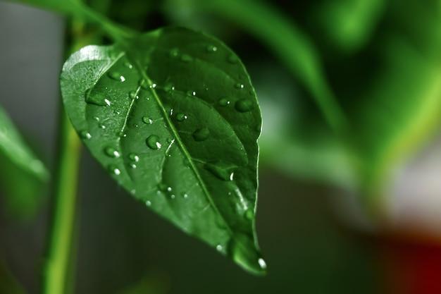 Grandes lindas gotas de água de chuva transparente ongreen folha macro