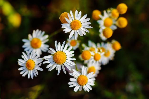 Grandes margaridas brancas em um prado entre as flores de verão