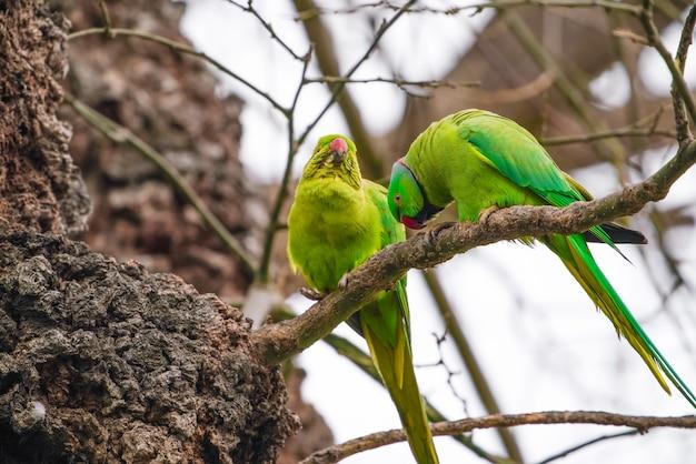 Grandes papagaios verdes em um galho