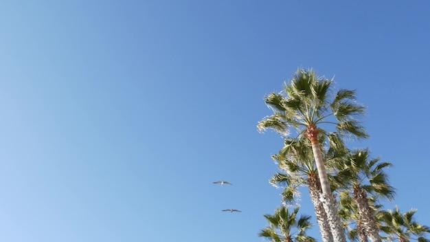 Grandes pássaros pelicanos voando, pelecano bando subindo no céu. palmeiras em oceanside, califórnia, eua.