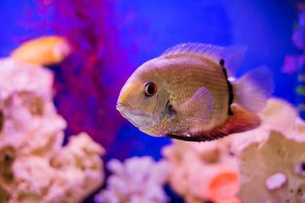 Grandes peixes de aquário nadam contra o cenário de carrilhões