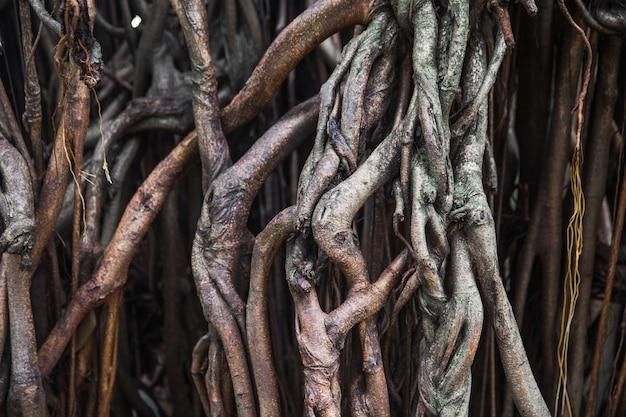 Grandes raízes de árvores como pano de fundo texturizado de madeira. fundo orgânico. macro.