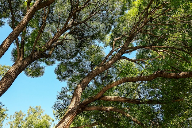 Grandes ramos de salgueiro ramificados enormes contra o céu azul. fundo natural e botânico.