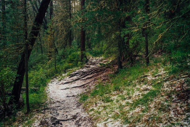Granizo na trilha na floresta de coníferas escura