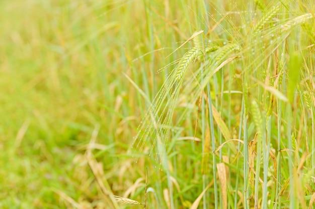 Grão amadurece no campo agrícola. cena com campo de cereais verde.