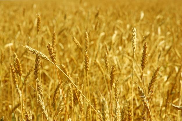 Grão amarelo pronto para a colheita, crescendo em um campo agrícola