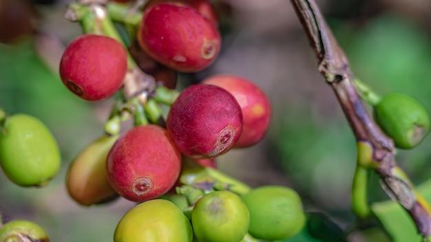 Grão de café fresco na árvore
