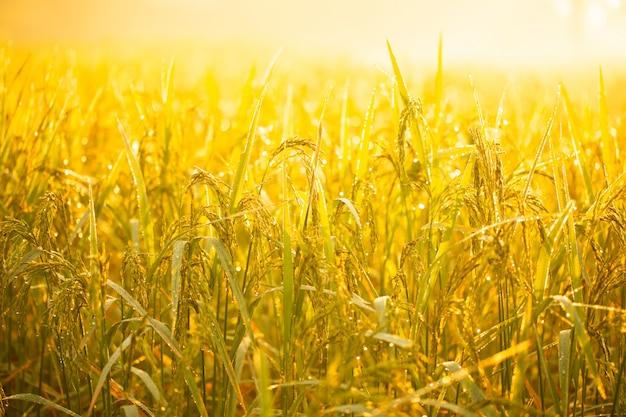 Grãos de arroz em campos de arroz