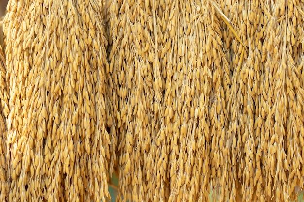 Grãos de arroz seco no fundo antes de entrar na máquina de classificação de grãos de arroz dourado