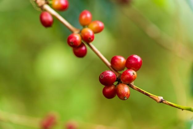 Grãos de café amadurecendo em árvore no norte da tailândia
