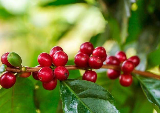 Grãos de café amadurecendo na árvore no norte da tailândia