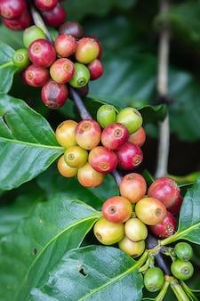 Grãos de café arábica em árvore na montanha em fazenda no norte da tailândia